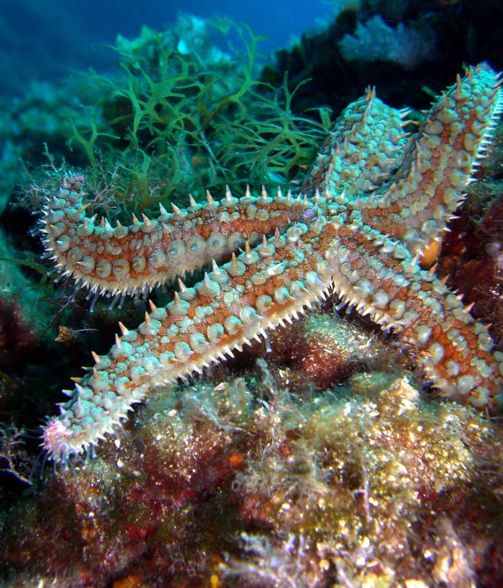 Vuelven las estrellas de mar a la costa de California después de llevar años desaparecidas