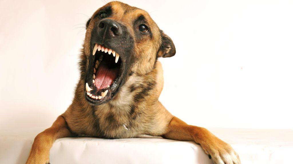 Los perros que hirieron a un niño de tres años en El Molar no estaban registrados