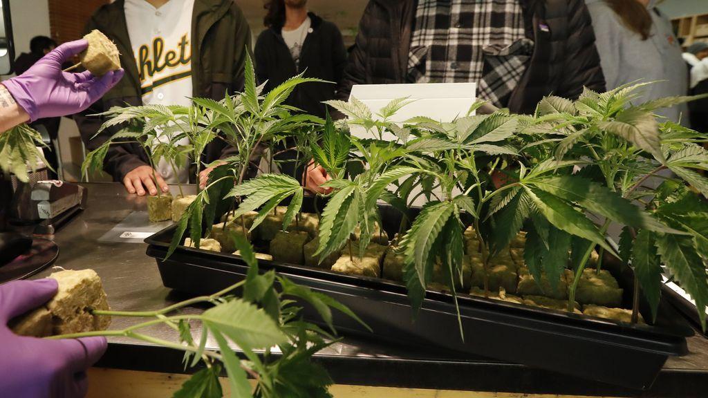California legaliza el uso de la marihuana para uso recreativo