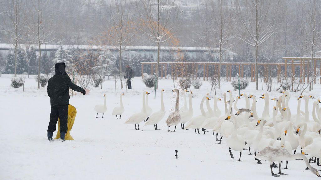 Un hombre alimenta cisnes en medio de la nieve en una reserva natural en Yuncheng, provincia de Shanxi, China, el 4 de enero de 2018. REUTERS / Stringer