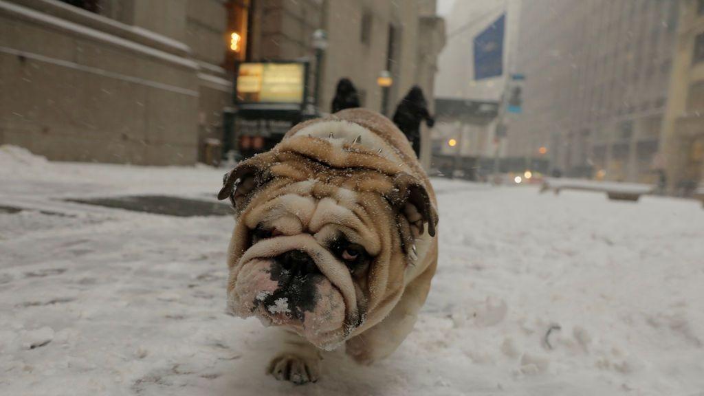 Un bulldog camina por la nieve durante una tormenta de nieve en Nueva York, EE. UU