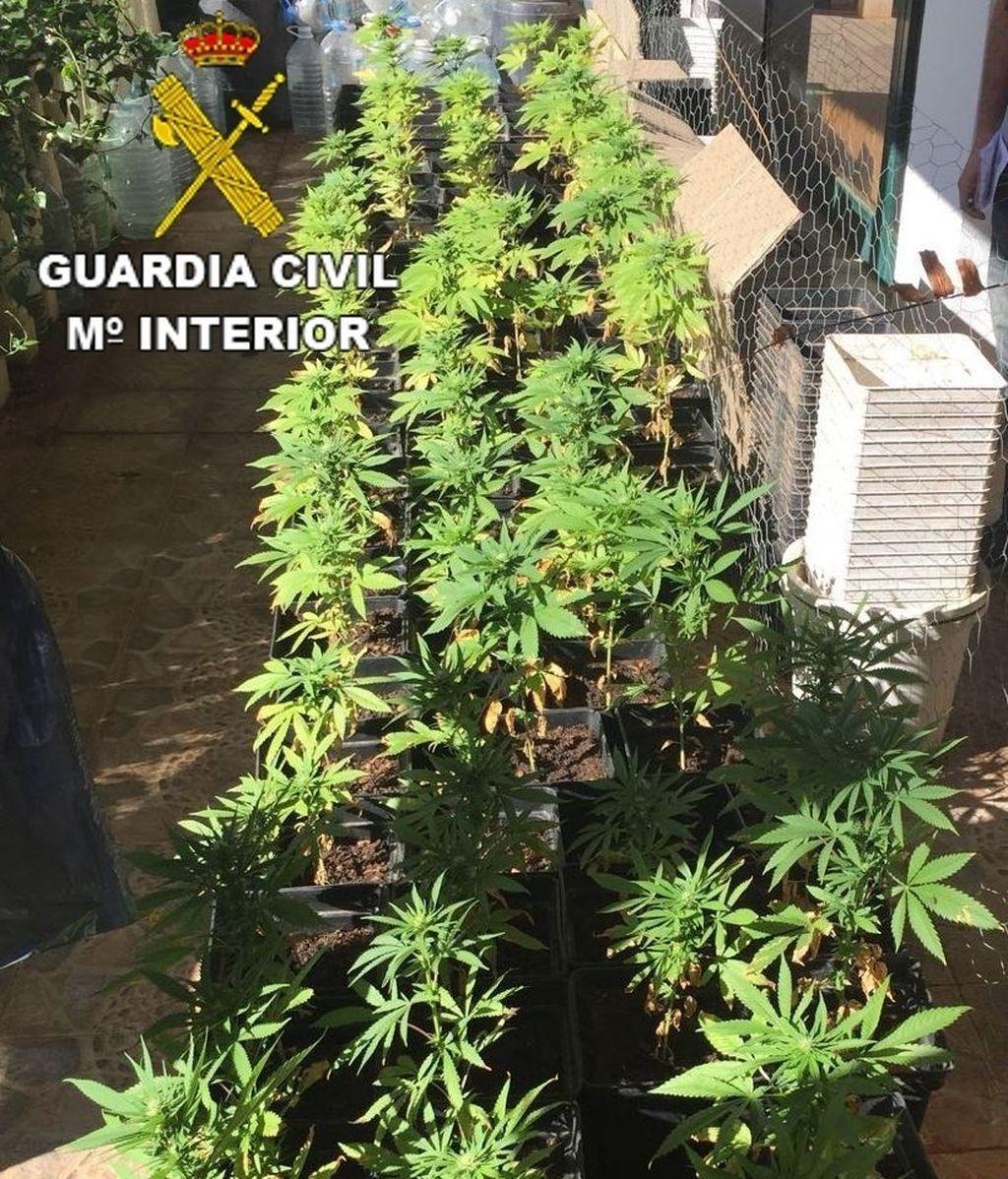 Detenido en Lanzarote por cultivar 81 plantas de marihuana en su casa