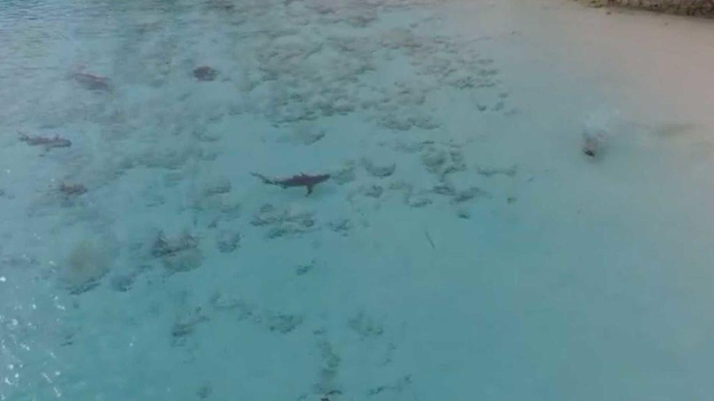 Un niño nada entre tiburones, sin saberlo, en una playa de Bahamas