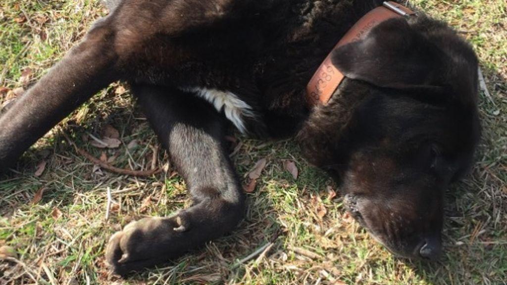 Tizón, el perro Mastín