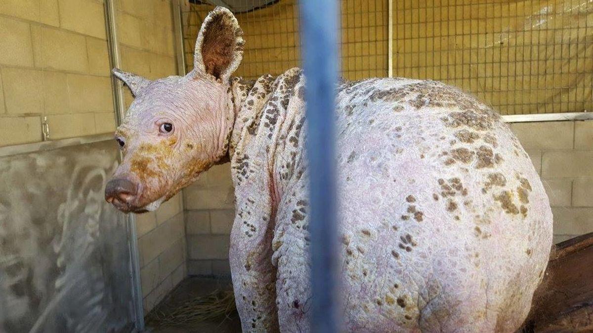 Explican el porqué de la alopecia de este extraño animal hallado en California