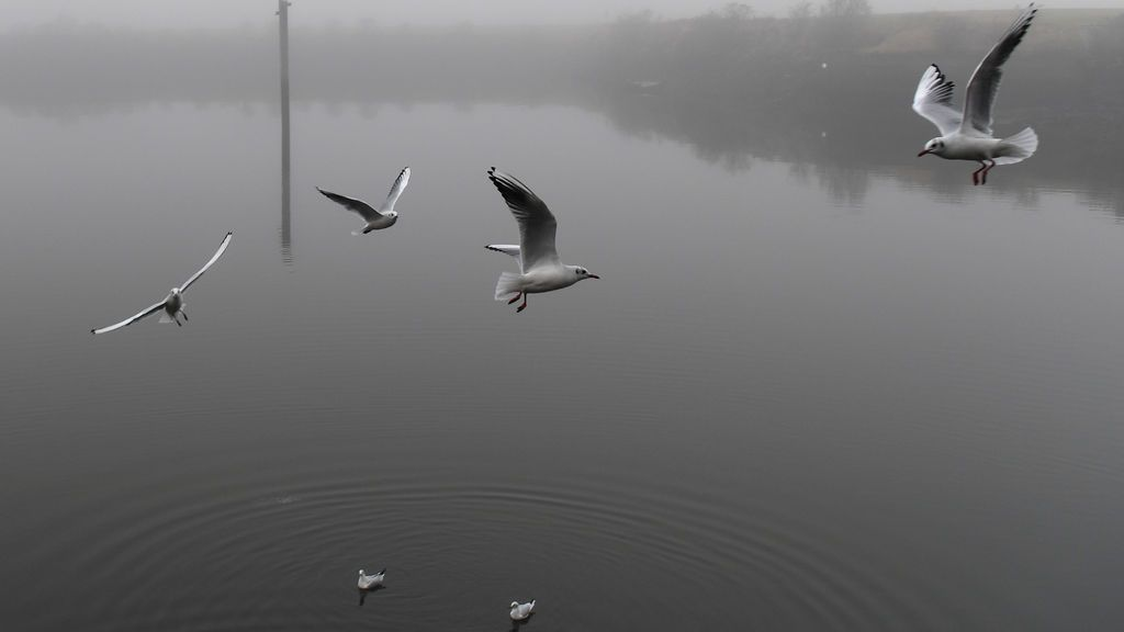 Gaviotas vuelan en una densa niebla en los muelles de Titanic, en Belfast, Irlanda