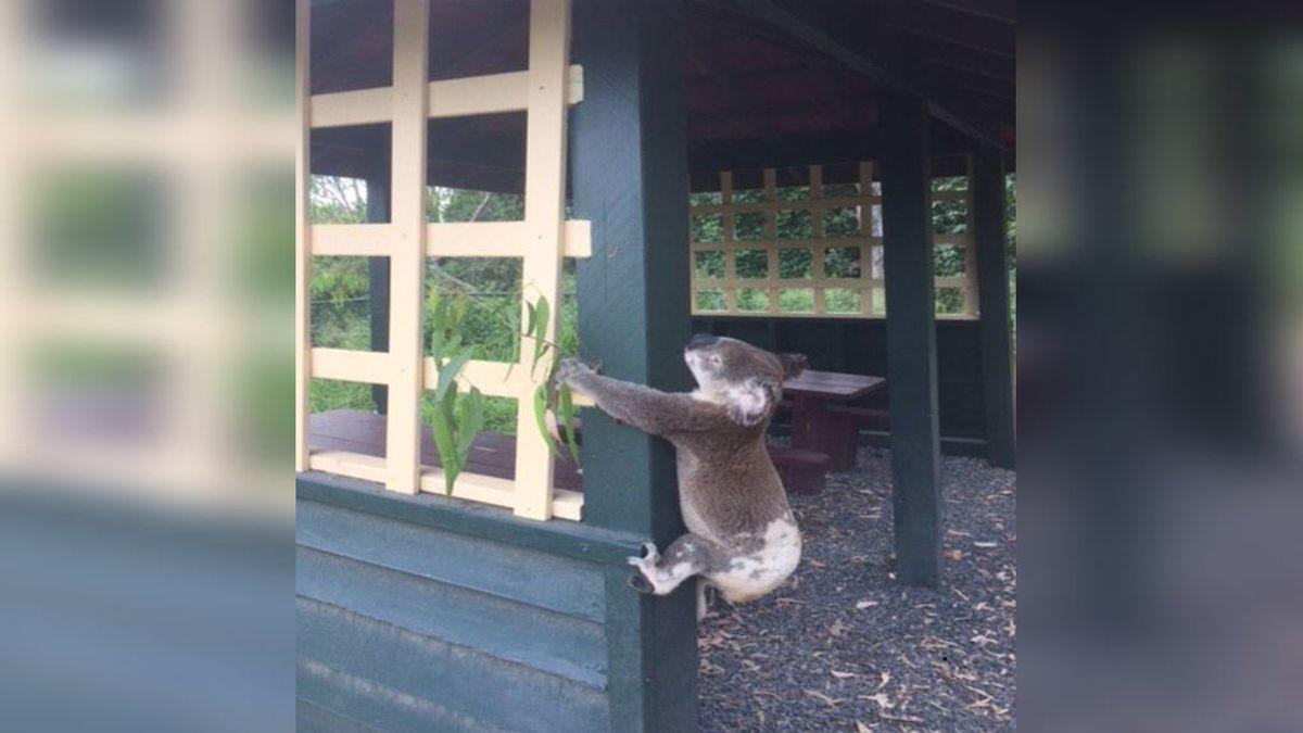 Hallan un koala con las extremidades atornilladas a un poste en un parque de Australia