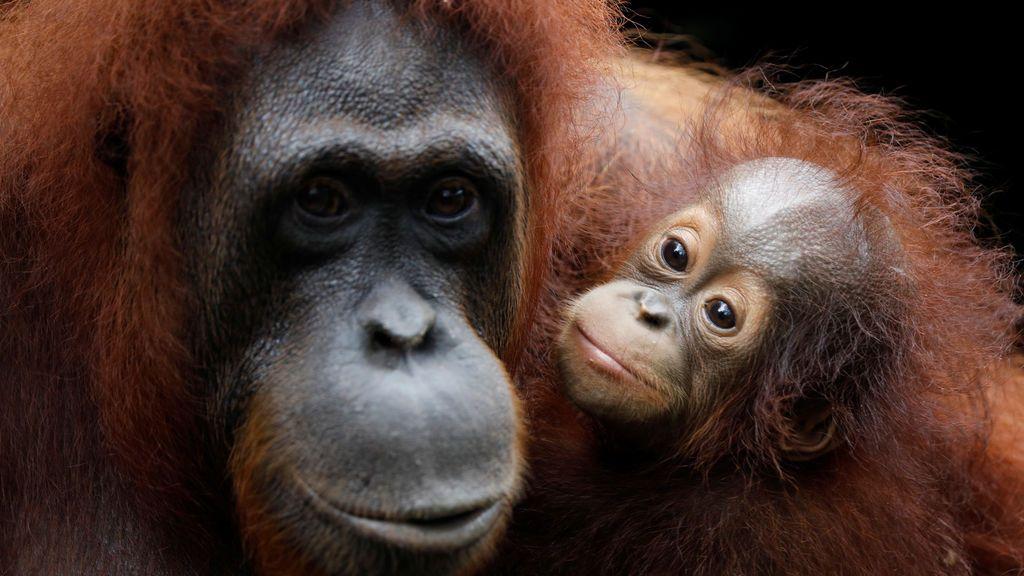 Khansa, el bebé número 46 de los orangutanes del Zoo de Singapur, se aferra a su madre Anita durante una gira por los medios para exhibir animales recién nacidos en el Zoológico de Singapur