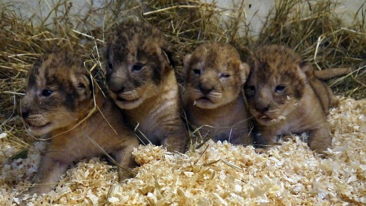 """Un zoo de Suecia mata a nueve leones por """"no encajar"""" con el resto de la manada"""