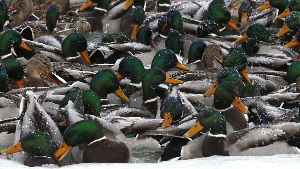 Decenas de patos salvajes nadan en las aguas heladas del río Yenisei, a las afueras de Krasnoyarsk, en Rusia.