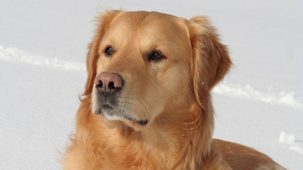 Una perra desaparecida sobrevive cinco días enterrado en la nieve