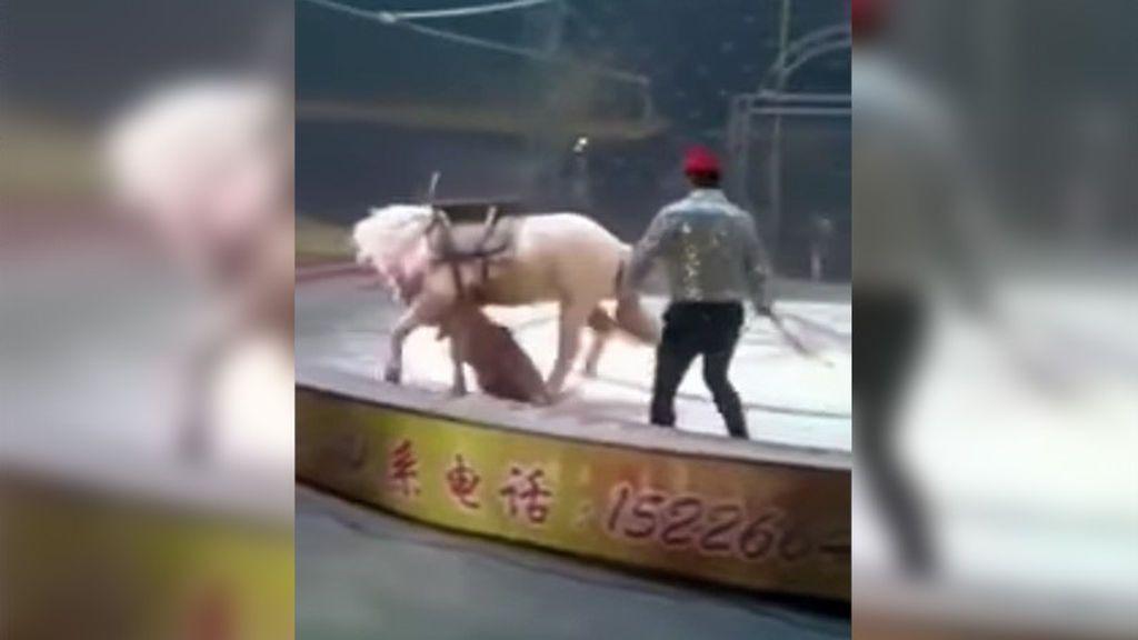 Un tigre y una leona devoran a un caballo en un espectáculo de un circo