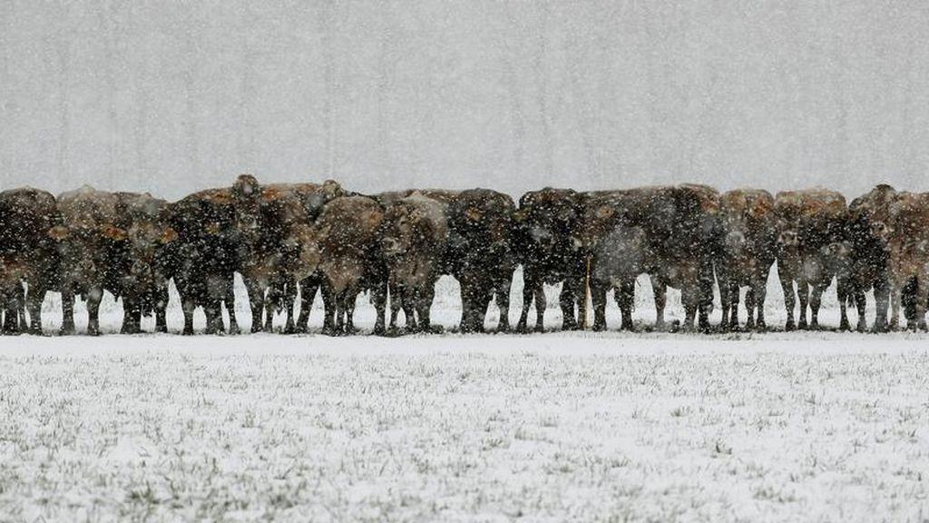Grupo de vacas soportando las gélidas temperaturas mientras les nieva encima en Landquart, Suiza