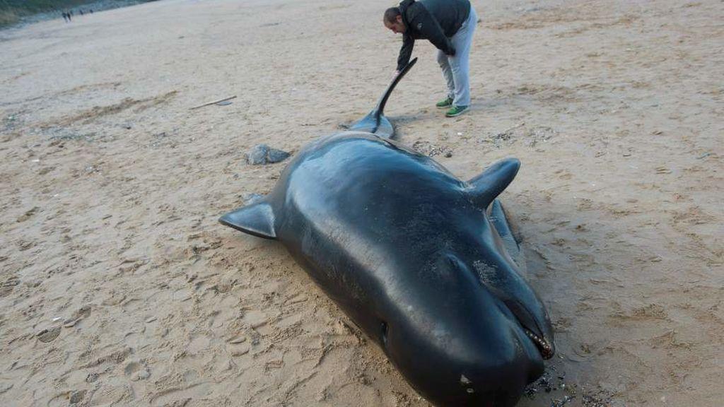De 4 metros de longitud: llega un cachalote varado a la playe de Langre, Cantabria