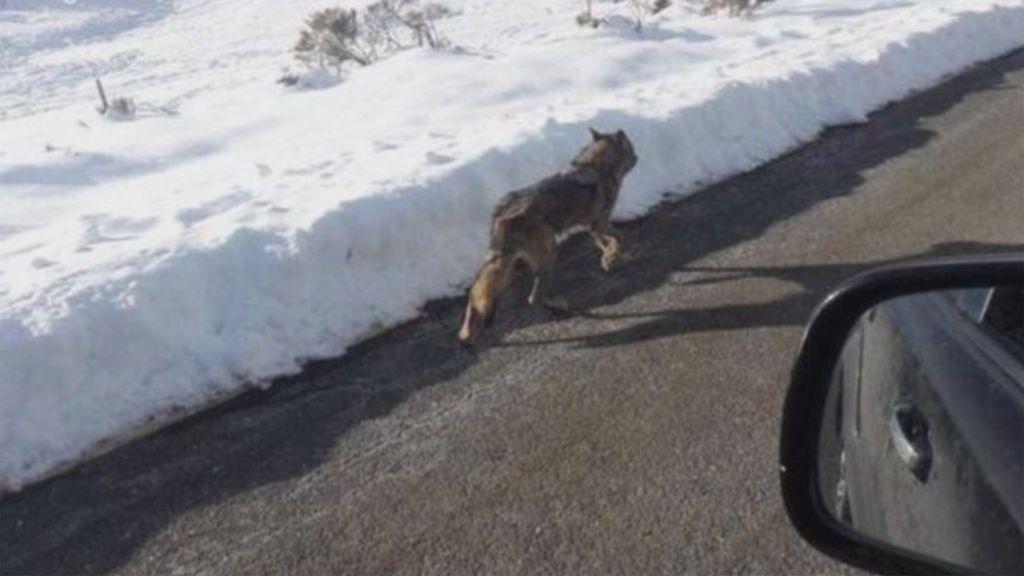 Un conductor se jacta en Facebook de haber atropellado a un lobo en la sierra de Gredos