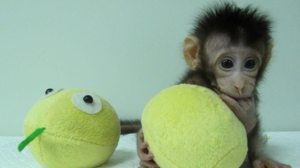 Huah Hua, un mono macaco de cola larga clonado en la instalación de primates en la Academia de Ciencias de China, en Shanghai, China.