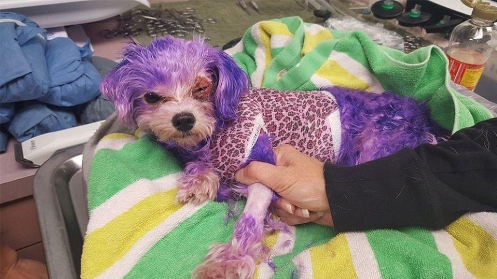 Alertan de las graves quemaduras sufridas por un perro tras teñirle de morado