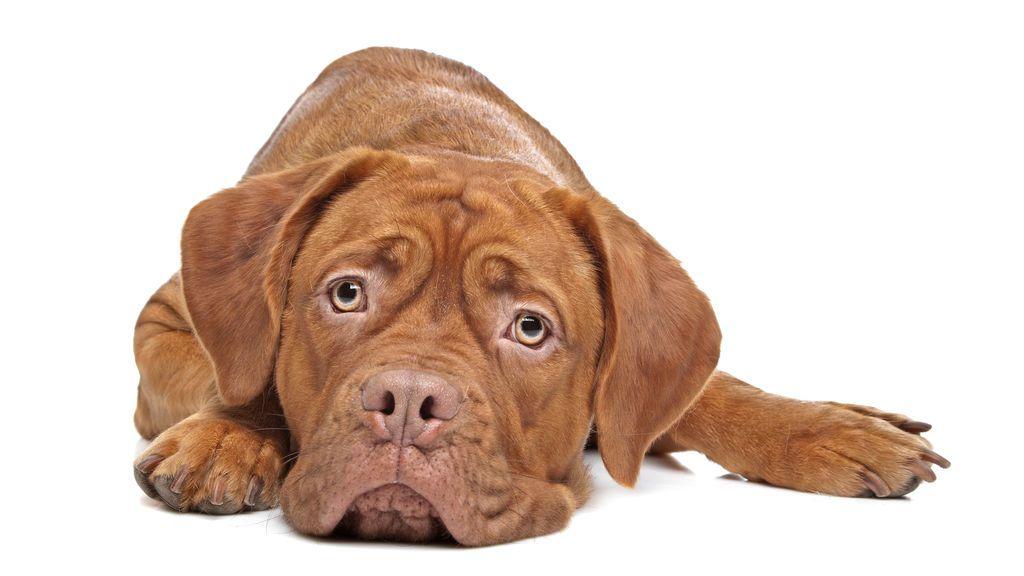 Un estudio revela que los perros no pueden dormir cuando tiene preocupaciones