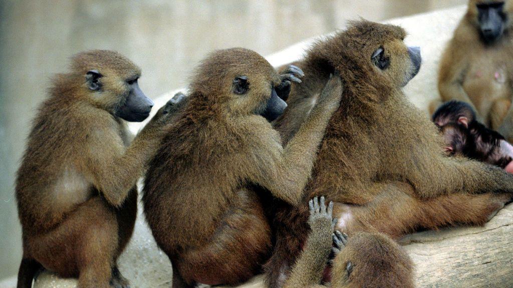 Desalojan el zoo de París después de que decenas de babuinos escaparan de su jaula