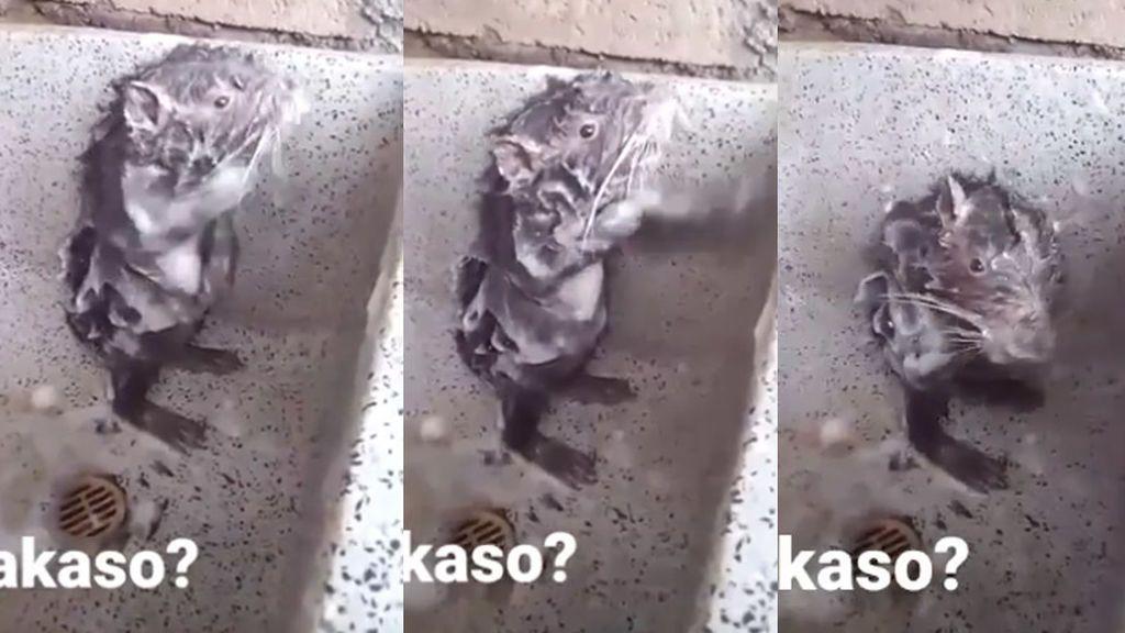 El vídeo de la rata duchándose que no te debería hacer tanta gracia