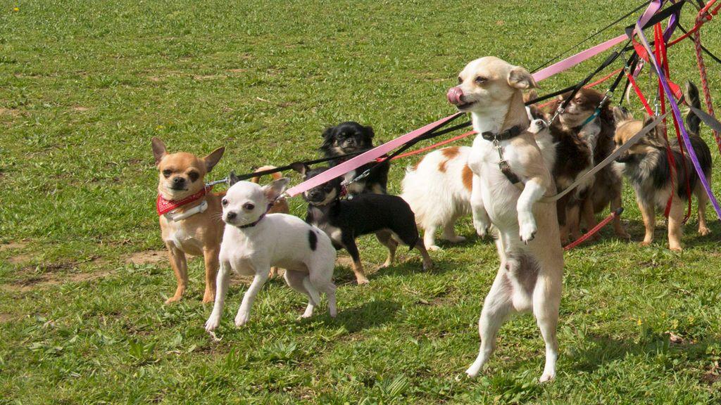 Cortar el rabo o las orejas a las mascotas, prohibido por ley desde hoy en España