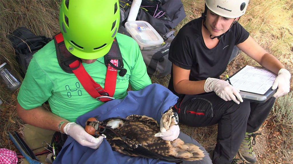 Exploración y rescate: Kike Calleja participa en un anillamiento de crías de alimoches