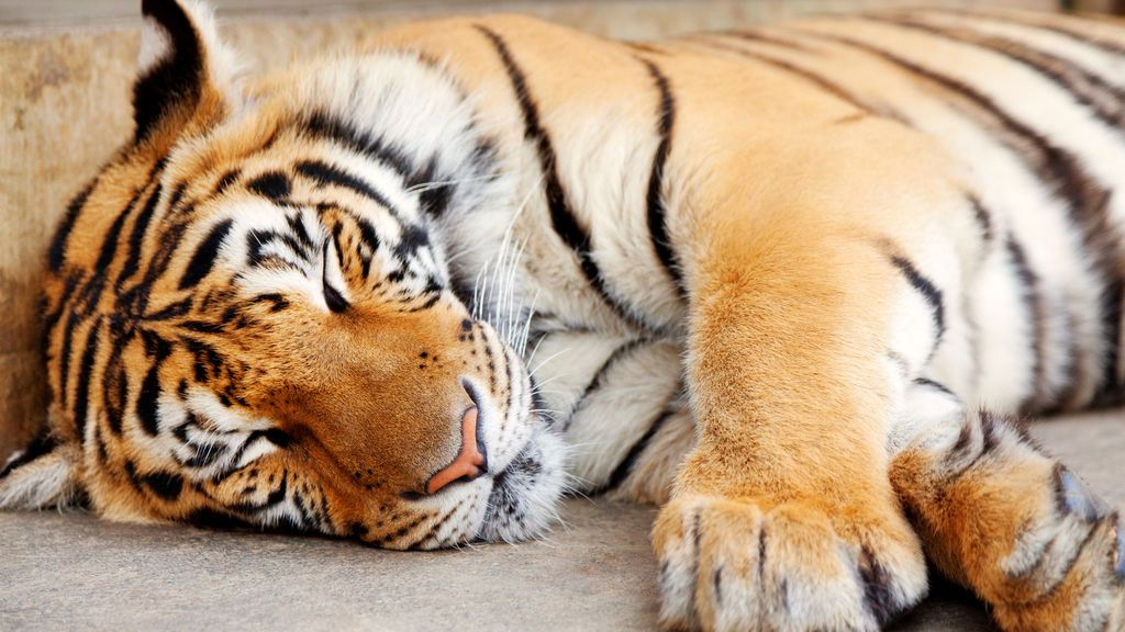 """""""Un tigre salvaje anda suelto, por favor vengan a ayudarme"""""""
