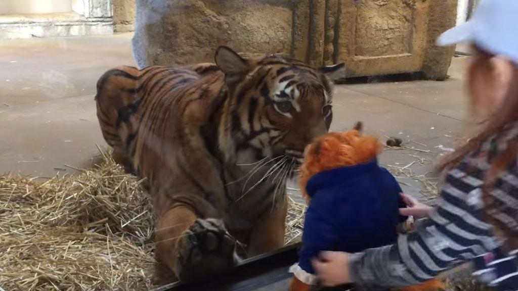 El tigre que eligió mal a su presa