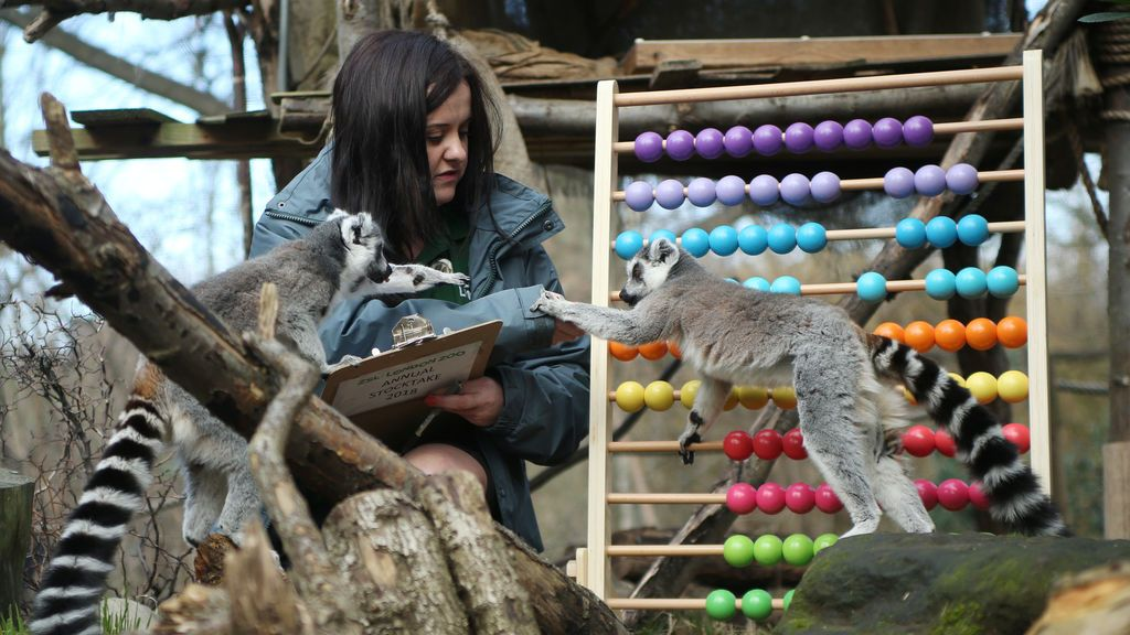Los lémures se cuentan durante el Stocktake anual en ZSL London Zoo en Londres, Gran Bretaña