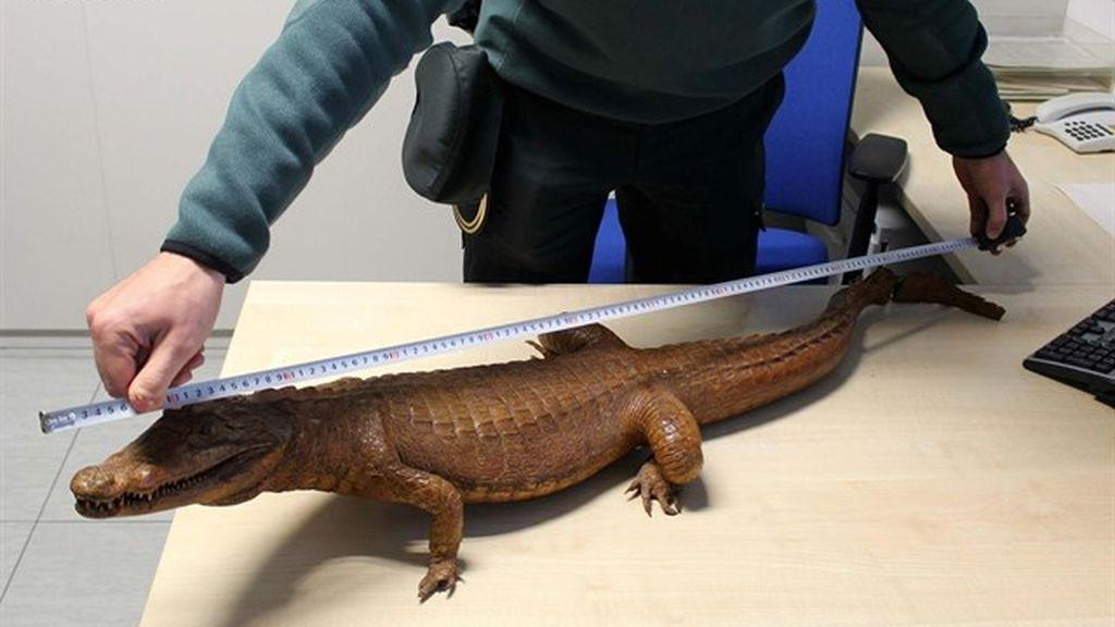 Intervienen en Tarragona un cocodrilo disecado que se vendía por Internet