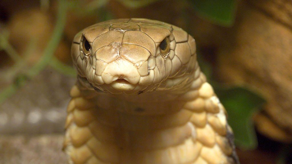 Una niña sudafricana sobrevive a la mordedura de una cobra