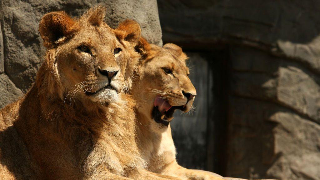 Muere un trabajador de un zoológico de Nigeria tras ser atacado de un león que se escapó de su jaula
