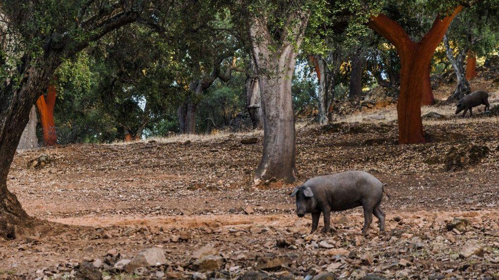 La Consejería de Medio Rural de Cantabria ordena el sacrificio de los cerdos sin identificación en San Felices de Buelna
