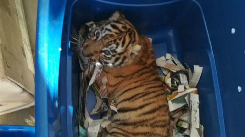 tigre méxico