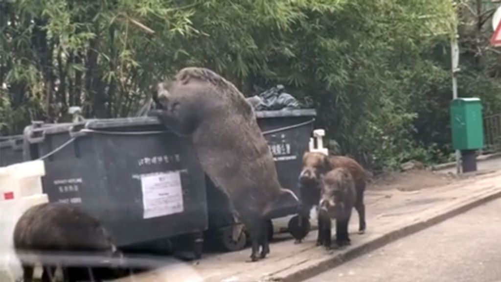 El gigantesco jabalí que saquea los cubos de basura de Hong Kong