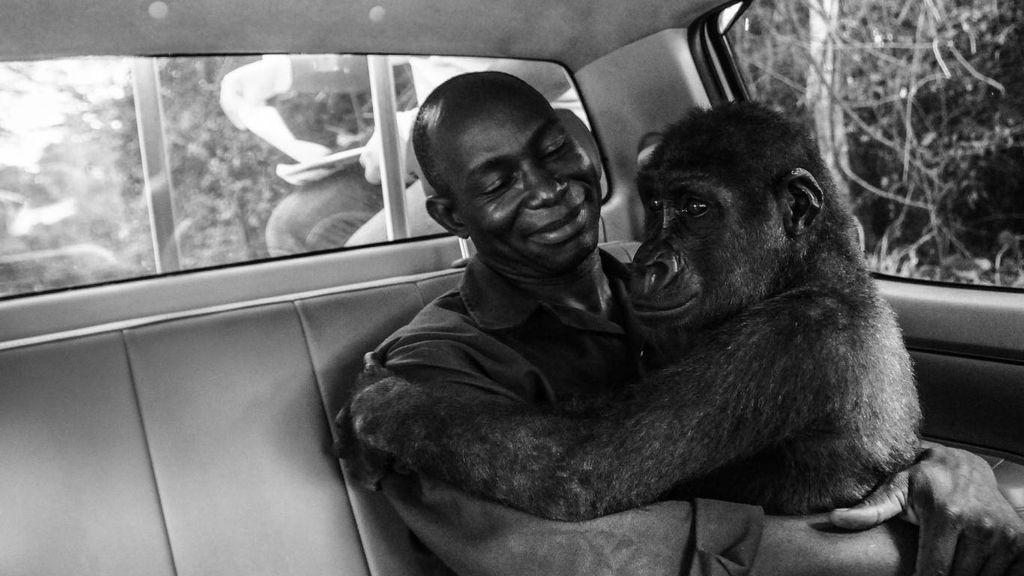 La historia de la gorila Pikin es elegida mejor foto de naturaleza del año según el público