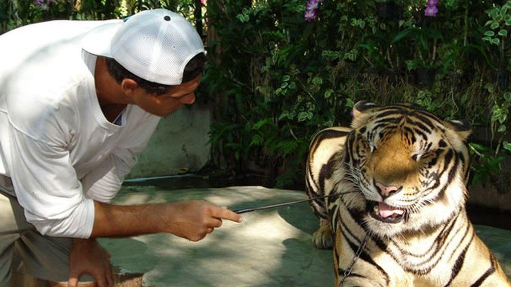 Los secretos de los tigres que viven en libertad