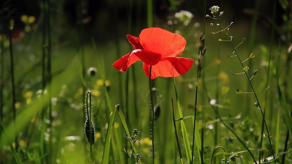 poppy-3137588_1920