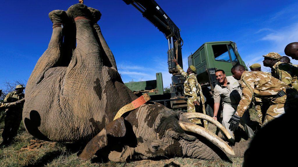 El Secretario del Gabinete de Turismo de Kenia Nabjib Balala y el Servicio de Vida Silvestre de Kenia cargan un elefante anestesiado a un camión durante su traslado al Campamento Ithumba en el Parque Nacional Tsavo East, en el rancho Solio en el Condado de Nyeri, Kenia
