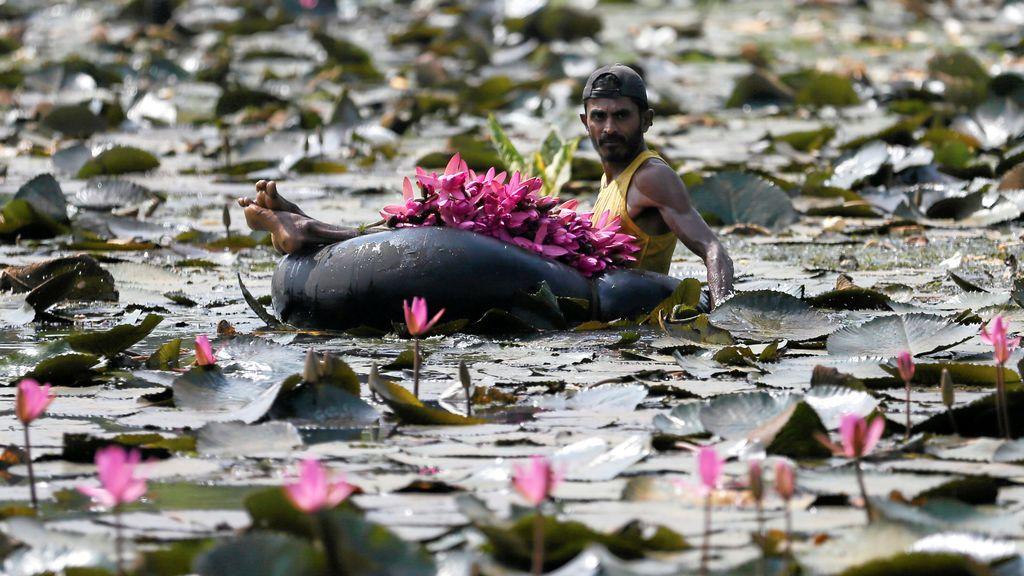 Un hombre recoge flores de loto en un estanque situado en Colombo, Sri Lanka