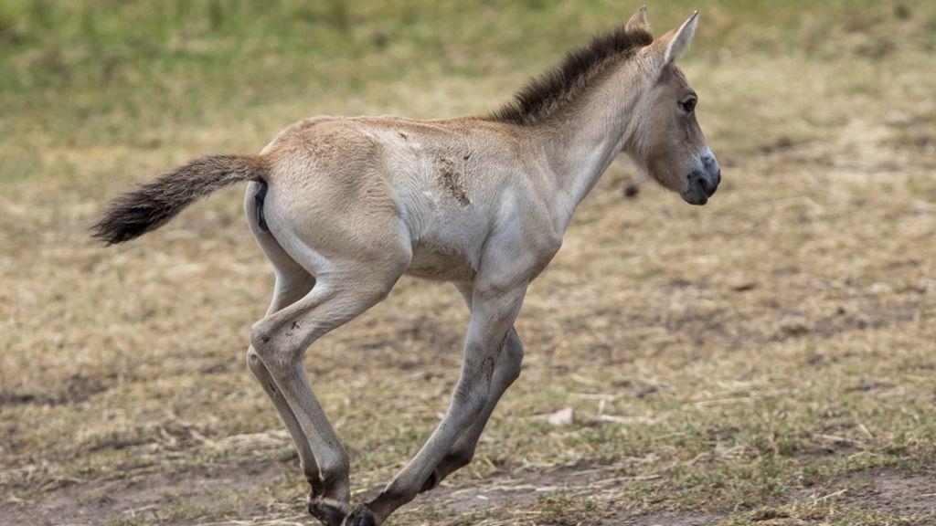 'Dash', un precioso caballo salvaje 'takhi' recién nacido