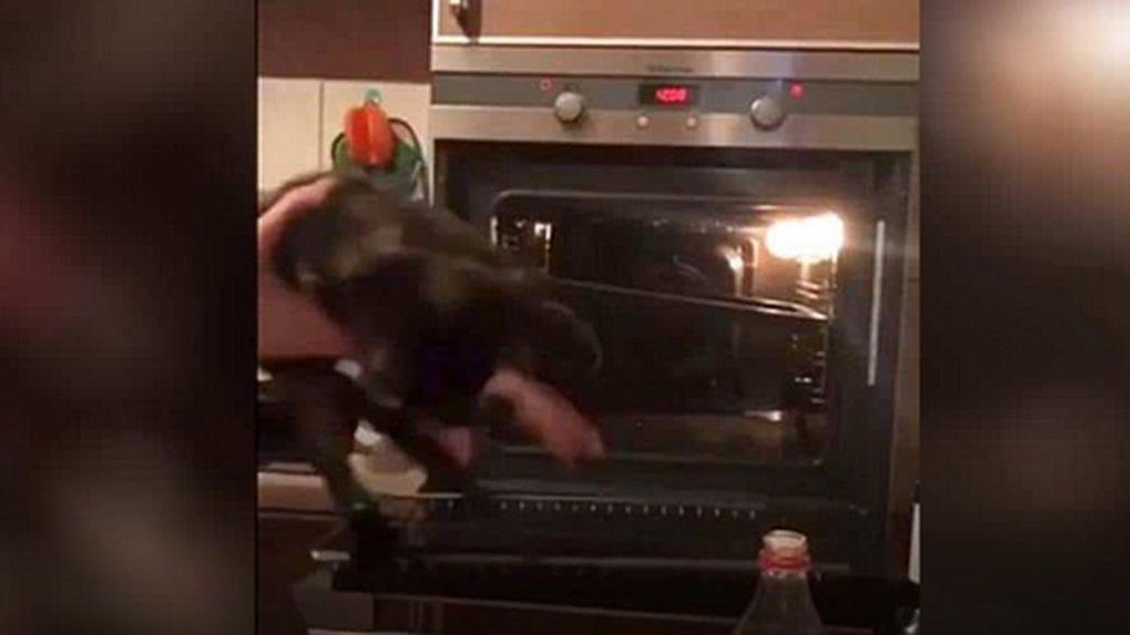 Meten a un gato en un horno a 375º,  lo graban en vídeo y lo suben a las redes