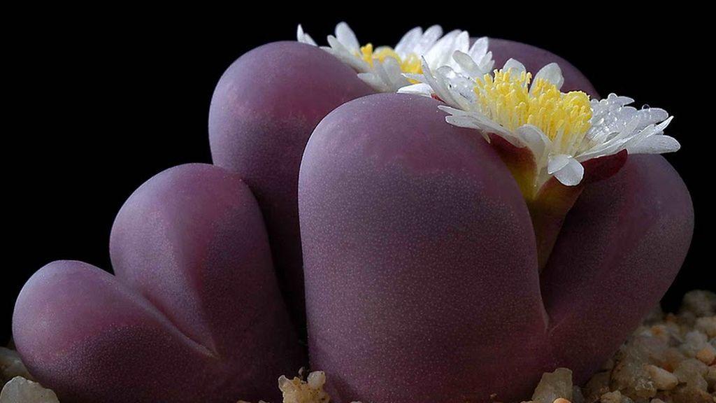 Lithops, la extraña planta que evoluciona a piedra