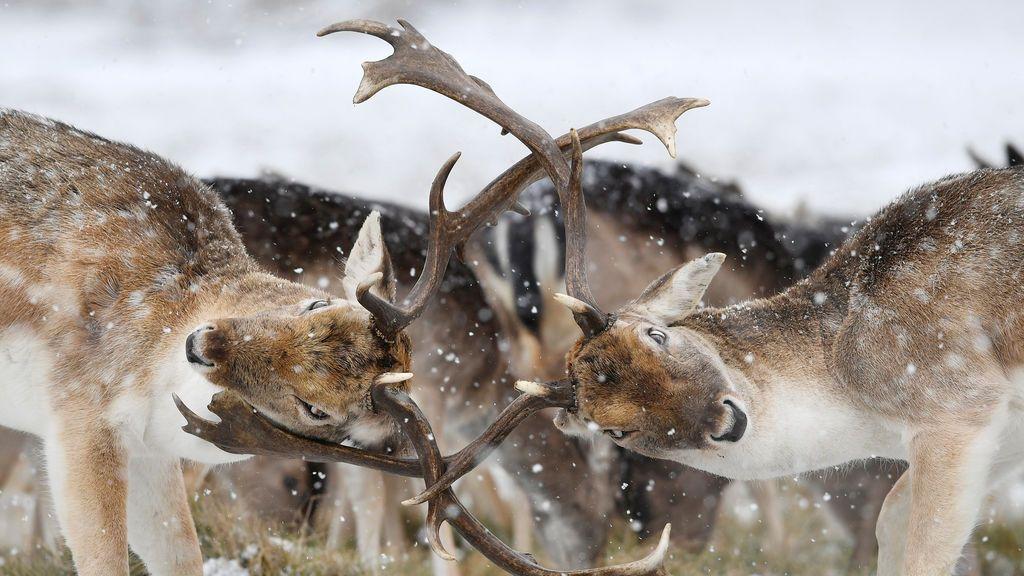 Dos ciervos chocan sus cuernos mientras cae la nieve en Richmond Park en Londres, Gran Bretaña