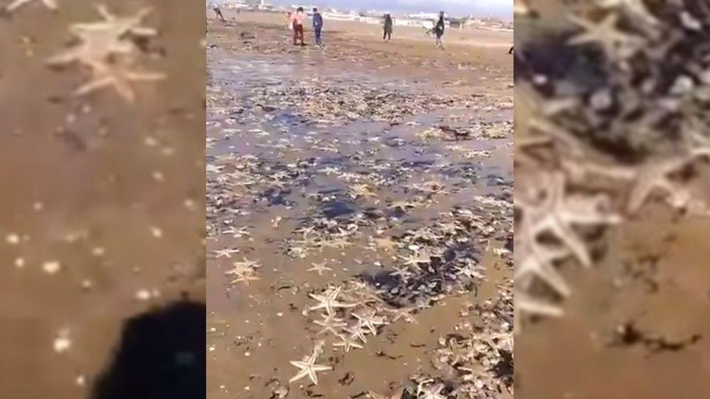 Otra consecuencia de Emma: miles de estrellas de mar, arrastradas fuera del agua en Huelva