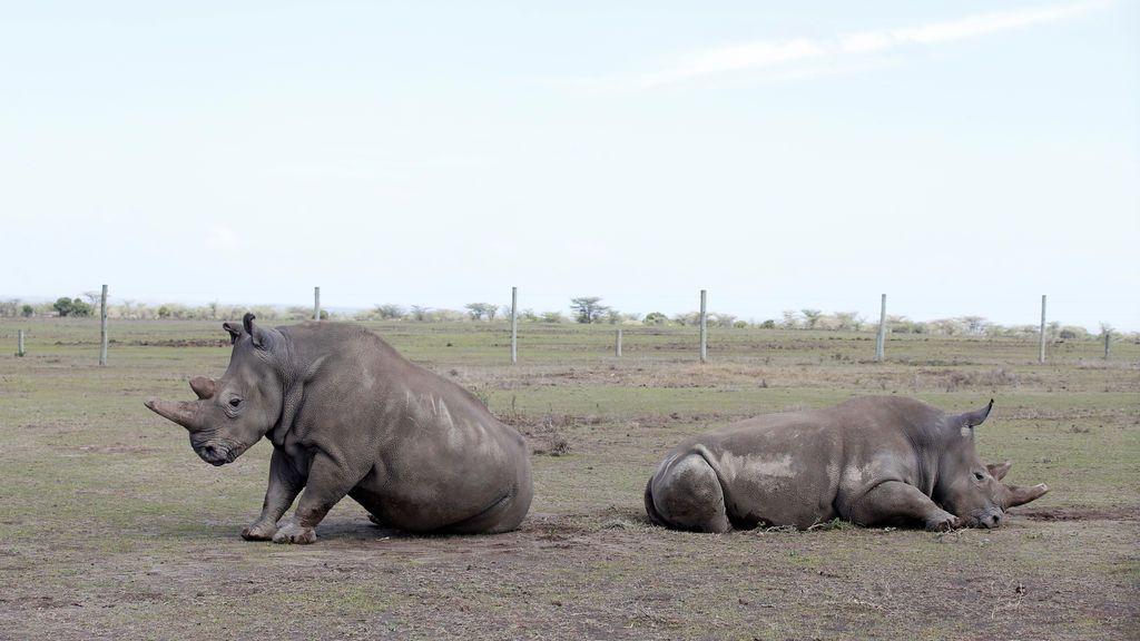 Najin y su hija Patu, las dos últimas hembras de rinoceronte blanco del norte, descansan en el Parque Nacional Laikipia, Kenia