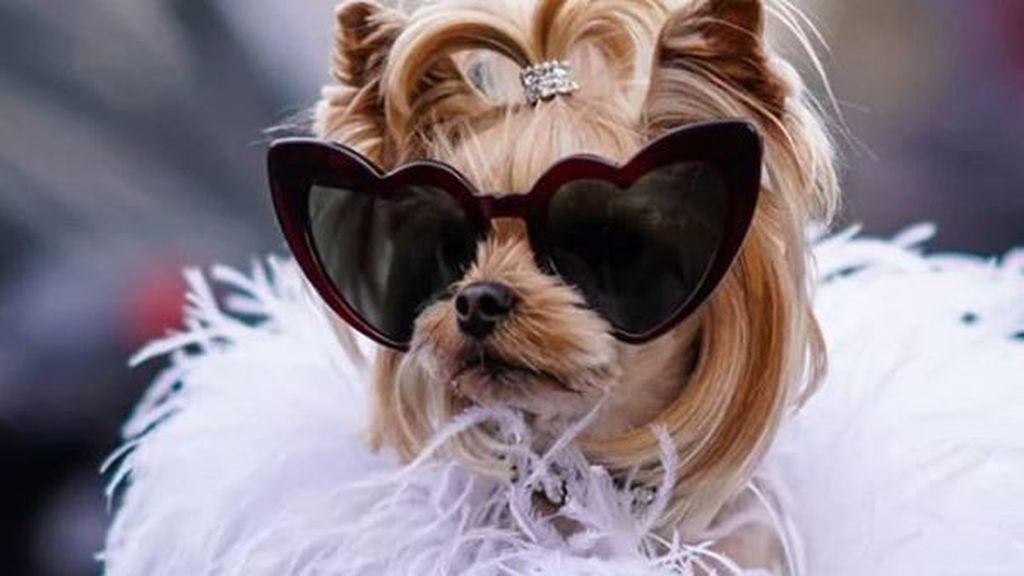 Lola Sunshine, la cachorra más estilosa de las pasarelas
