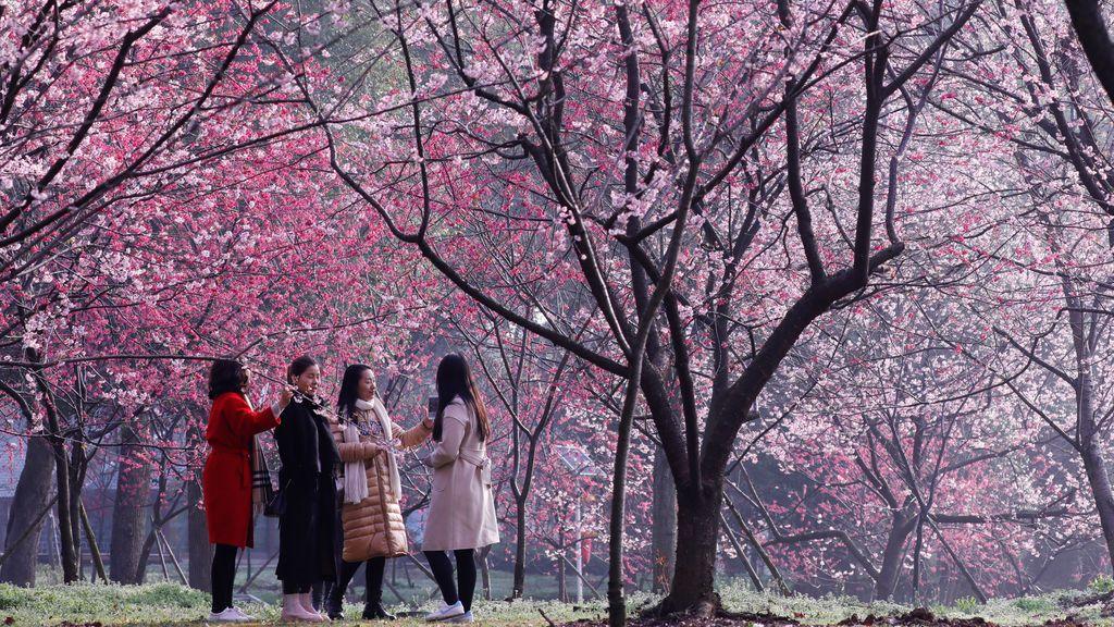 Preciosa estampa de los cerezos en flor