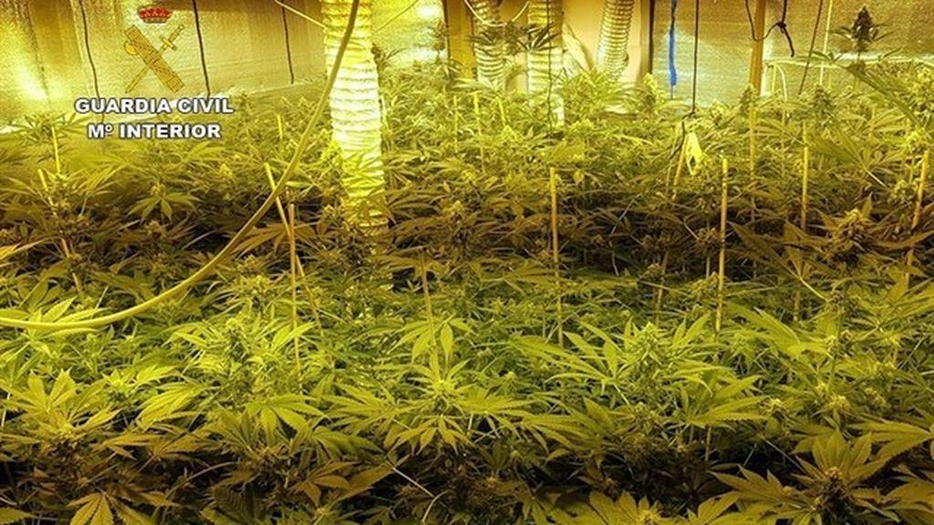 Desmantelada una plantación de 163 plantas de marihuana en un domicilio en Mallorca