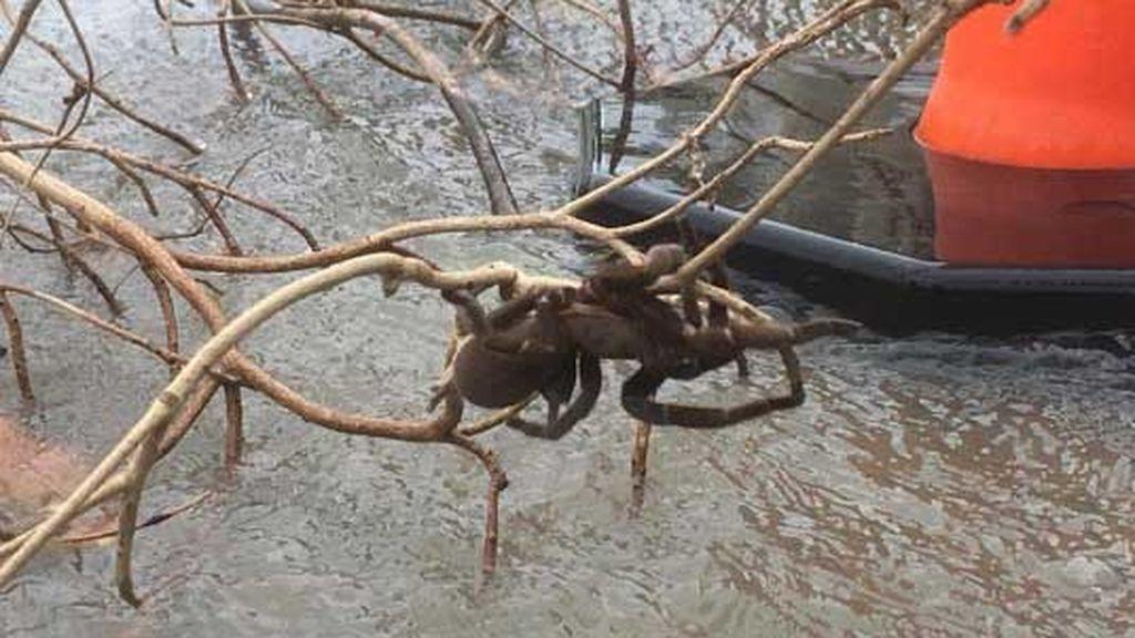 Inundación en Australia: una enorme y peluda araña lucha contra el agua del río Herbert